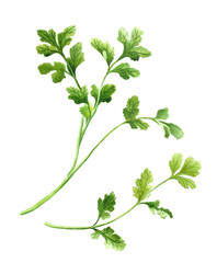 cilantro, coriander twig. Watercolor isolated illustration on white background for coookbook, recipe, menu design