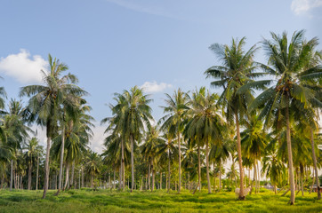 Coconut tree plantation.