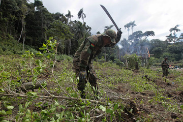 Bolivian soldier destroys coca plant during eradication programme of illegal coca plants in Carrasco National Park, Chapare region