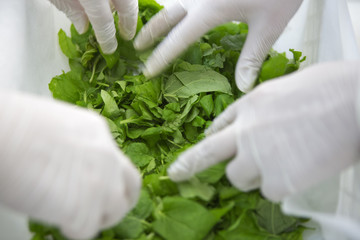 Laboratory technicans of the company Icon Genetics prepare Tobacco plants (Nicotiana benthamiana) for drying in a laboratory in Halle