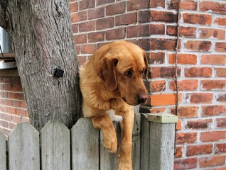Brown golden retriever dog with paws over a grey fence against brick wall