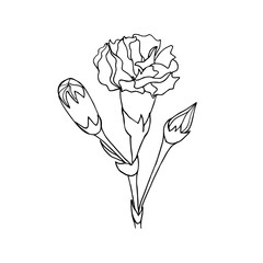 Black and white ink hand drawn carnation in vector