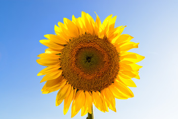 Sunflower head on sky background