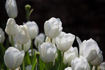 Beautiful white tulip flowers background