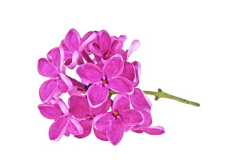 Small branch of purple lilac flowers isolated on white background