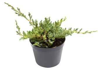 Juniperus horizontalis Blue Chip in a pot isolated on white background. Coniferous trees. Flat lay, top view