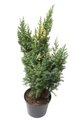Juniperus chinensis Stricta Variegata in a pot isolated on white background. Coniferous trees. Flat lay, top view
