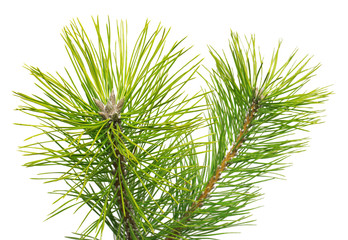 Pine Black Pinus nigra isolated on white background