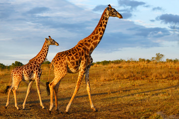 Giraffe with calf in the Masai Mara National Reserve in Kenya