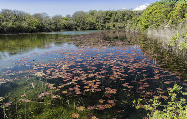 View from one of the causeways at Bosherton Lakes, near Stackpole, South Wales in the UK, with lily plants floating on the surface.