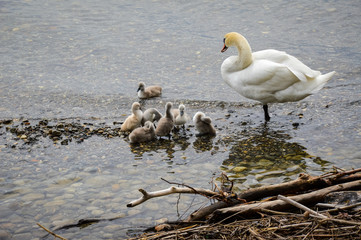 Swan with baby chicks, Lindau, Bodensee, in South Germany, May 2017