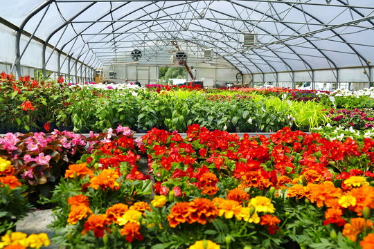Blooming multi-colored flowers at the greenhouse.