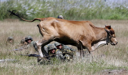 A cow runs past U.S. and Philippine marine troops as they take positions during assault exercises in joint drills at a Philippine Naval base San Antonio, Zambales