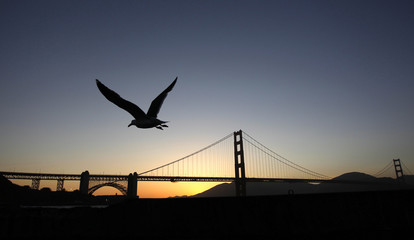 Sea gull takes flight with Golden Gate Bridge in the background during sunset in San Francisco