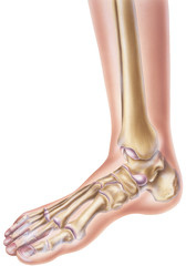 A normal human foot and ankle showing the bones and joints