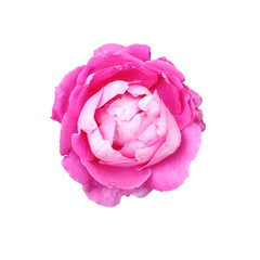 pink rose isolate on white background