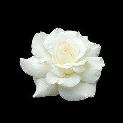 white rose isolate on black background