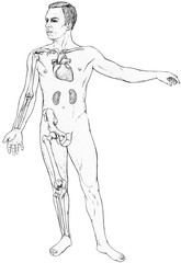 Male figure with select organs and bones visible. Shwon are the clavicle, heart and kidneys. Arm bones - humerus, ulna, radius. Leg bones - femur tibia ,fibula and the hip bone.
