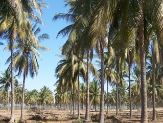 Rows and Rows of Palm Trees