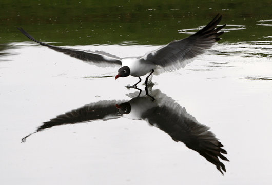 A Laughing Gull lands on a pond at the TPC Sawgrass golf course in Ponte Vedra