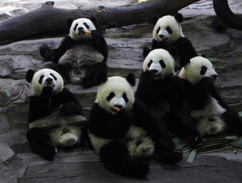 Giant pandas eat carrots at Chimelong Giant Panda Center in Guangzhou Xiangjiang Safari Park