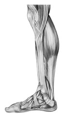 Muscles and tendons of a human lower right leg.