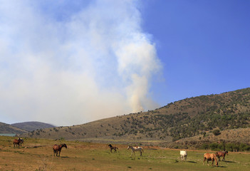 Horses graze in a field as the Wood Hollow Fire burns in the background north of Fairview