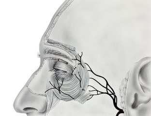 Muscles and Nerves near the Human Eye, showing the orbicularis muscle, levator palpebrae superioris muscle, and branches of the facial nerves..
