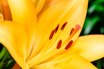 Close-up Yellow Lilium with stigma, stamen, style, tepal