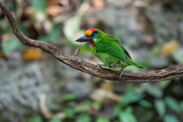 Red-throated Barbet.