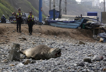 An elephant seal is guarded  by police and volunteers after it was found in a sick condition on a beach at Miraflores district of Lima