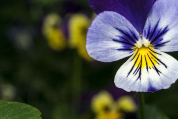 White, purple and yellow pansy closeup