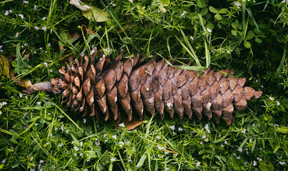 Long Pine Cone in the Grass