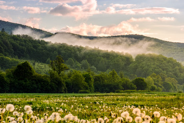 dandelion field at foggy sunrise in mountains
