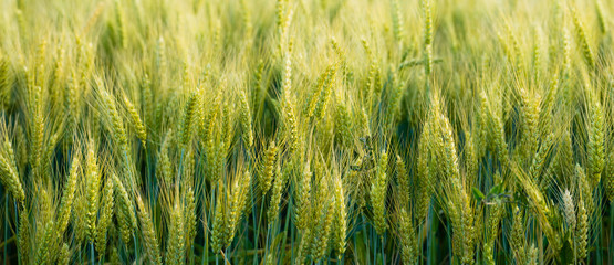 Close Up Whole Grains Real Food Growing in Farmers Field