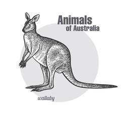 Animals of Australia. Wallaby or kangaroo.