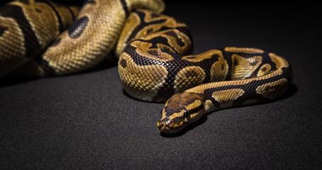 Image of brown pet snake
