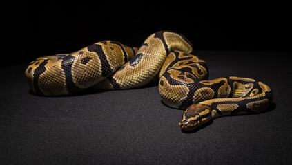 Closeup photo of brown ball python