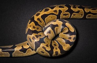 Photo of royal python's noose