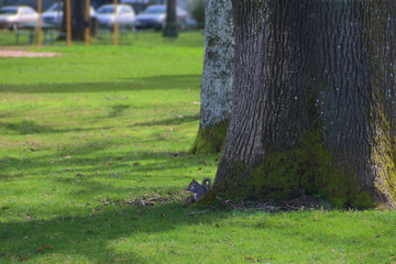 View of Small Grey Squirrel Sitting at Base Tree, Out of Focus Park Background with Green Grass/Trees, Daytime - West Coast USA