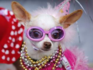 Bianca arrives in a baby carriage to compete in Doggie Gras Parade and Fat Cat Tuesday Celebration in Rancho Santa Fe
