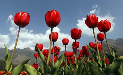 Red tulips are seen in full bloom inside Kashmir's tulip garden during Baisakhi festival in Srinagar