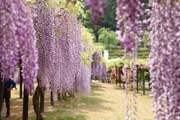 白井大町藤公園 藤の花