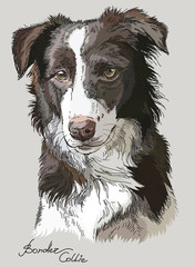 Colored vector Border collie