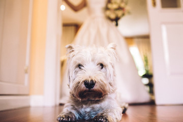 Sweet portrait of a lovely white dog in her owner's wedding day. Lifestyle portrait.