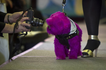 A dog has its photo taken during a New York Pet Fashion Show event during Fashion Week in the Manhattan borough of New York