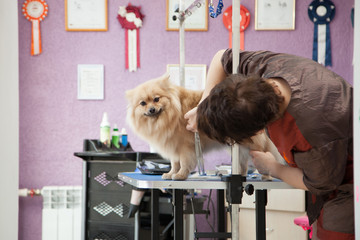 Dog Pomeranian haircut women master grooming dogs in a salon