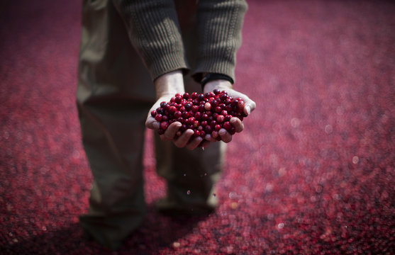 An employee of the Ocean Spray company holds cranberries as he stands in a pool of some 2000 pounds of floating cranberries at a promotional cranberry bog display set up at New York's Rockefeller Center