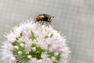 insect fly sits on a flower bow