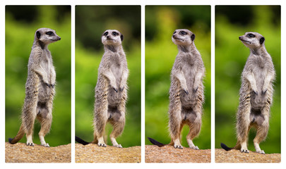 A collage of meerkats, standing on their hind legs and all looking in different directions.